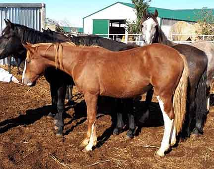 2017 Sabino Chestnut Connemara Gelding For Sale