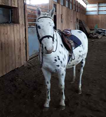 2015 Non-Registered Appaloosa Pony For Sale